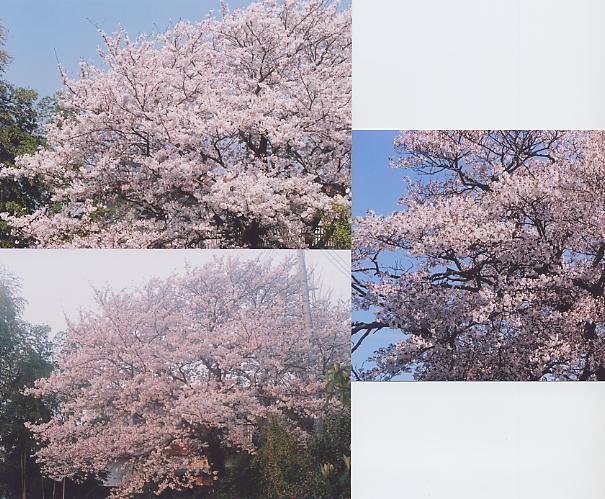 桜のフェリャー