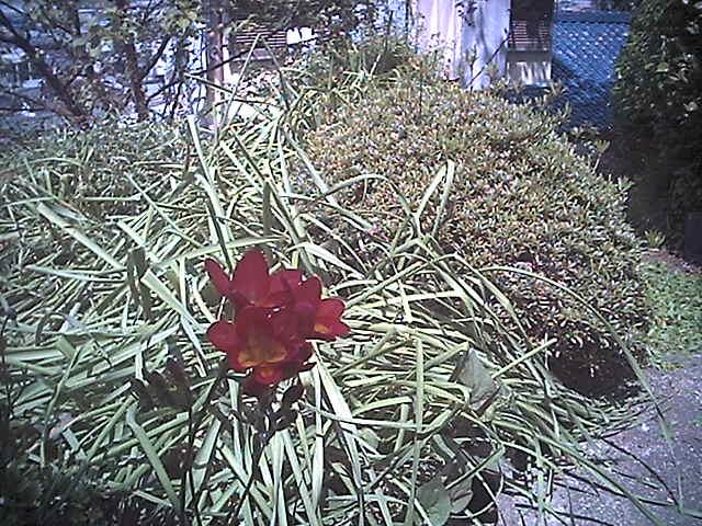 赤フリージャーと庭