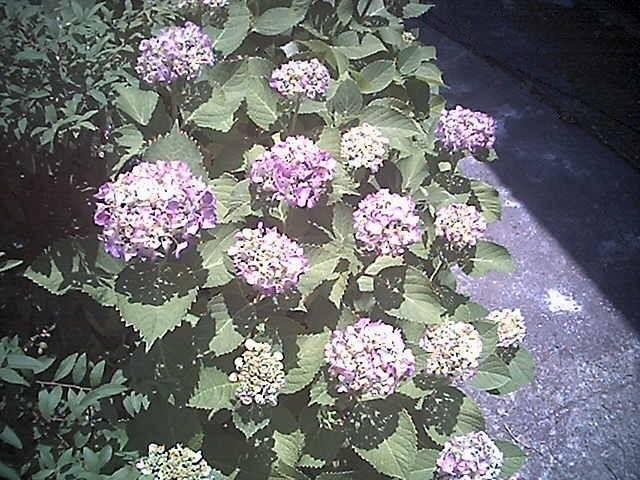 光と紫陽花