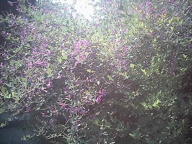 光と萩の花