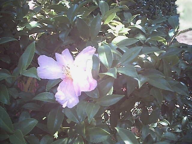 朝日と山茶花