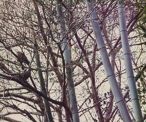 山鳩と竹薮