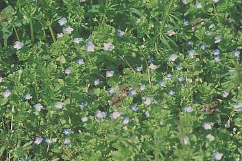 むらさき草