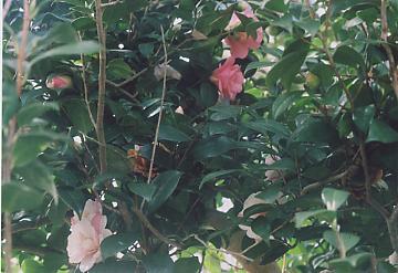 7色椿の木姿