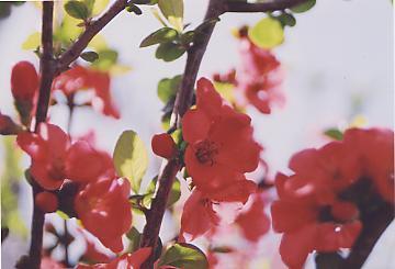ボケの赤花と朝日