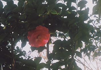 大王椿の木姿